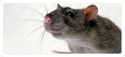 Rats and Mice Control
