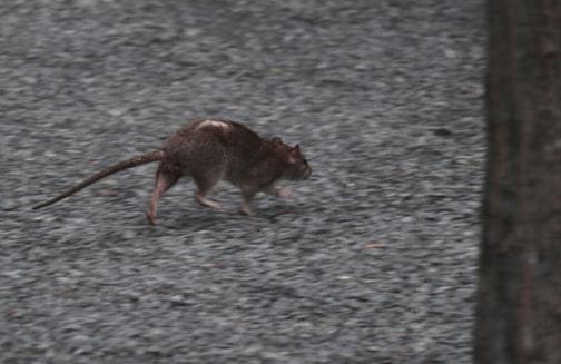 Mice Rats Amp Mole Extermination Birmingham